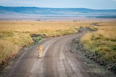 A long and lonely road she walks.jpg (Darren Berg) Tags: dcbshot dirt mara maasai lion lioness kenya safari winding