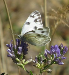 Checkered White (Bug Eric) Tags: animals wildlife nature outdoors insects bugs butterflies whites pieridae lepidoptera coloradosprings colorado usa checkeredwhite pontiaprotodice northamerica october52018