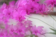 HeliosX01T4291 (kingston Tam) Tags: pottedplants flowers painterlyfeel watercolorpainting colors oldlens bokeh brightcolors fujifilmxt1 helios442f258