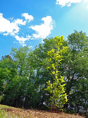 Trees At Northeast Park. (dccradio) Tags: lumberton nc northcarolina robesoncounty outdoor outside outdoors northeastpark penningtonathleticcomplex drraymondbpenningtonathleticcomplex sky bluesky tree trees greenery foliage spring springtime april saturday afternoon goodafternoon nature natural leaf leaves branch treebranch treebranches branches treelimb treelimbs grass lawn yard ground cloud clouds whitecloud whiteclouds young youngtree