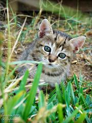 ♥ (Linayum) Tags: kitty cat cats pet pets mascota mascotas felino cute lindo gatito linayum