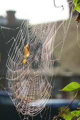 P1130525 (harryboschlondon) Tags: harryboschflickr harrybosch harryboschphotography harryboschlondon october2018 october 2018 21stoctober2018 plantstreesandflowers botanical botanicalphotography nature naturephotography england englandphotography cobweb spidersweb