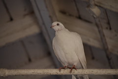 White Pigeon (Mikon Walters) Tags: uk britain england west midlands birmingham sutton coldfield train station nikon d5600 nikkor 18300mm f3563 zoom lens 300mm white pigeon dove release animal bird creature wildlife outdoors autumn beak eye eyes talons talon feathers