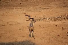 Solitude  ( Kudu / Koedoe ) (Pixi2011) Tags: antelope wildlife krugernationalpark africa animals