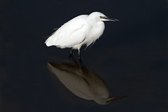 little egret (Explore) (DODO 1959) Tags: wildlife littleegret birds nature outdoor animal avian fauna reflection olympus omdem1mk2 300mmf4 micro43 x14 wales carmarthenshire kidwellyquay water