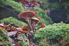 Mushrooms (Hugo von Schreck) Tags: hugovonschreck mushrooms canoneos5dsr tamron28300mmf3563divcpzda010