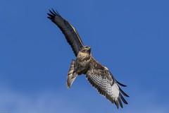 Buzzard (Tenspeed2) Tags: buzzard
