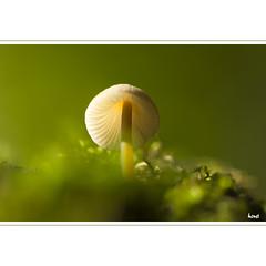 After the Rain (horstmall) Tags: mushroom pilz champignon toadstool wald forest forèt langesteige böhringen schlattstall lenningertal römerstein lenningen schwäbischealb jurasouabe suabe swabianjura green vert grün moos moss mousse sommer summer été horstmall