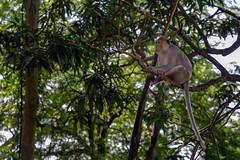A Wild Living Monkey (NguyenMarcus) Tags: vungtau bàrịa–vũngtàu vietnam vn worldtrekker aasia
