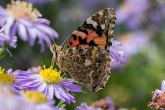 Vanessa cardui (kyry2010) Tags: vanessa cardui del cardo farfalla butterfly mariposa papillon schmetterling macro close up animal animals