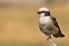 Shrike (ralf galloway) Tags: tanzania bird birds beautiful shrike