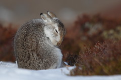 Serene (blootoonloon1( No to Badger Cull)) Tags: mountainhare winter coat fur animal nature wildlife colours scotland highlands cairngorms
