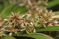 Grass seeds (Marine Explorer) Tags: nature suburbia sydney australia marineexplorer