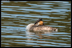 Great Crested Grebe (birdsaspoetry) Tags: greatcrestedgrebe jawboneconservationreserve podicepscristatus