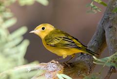Yellow Warbler (Ed Sivon) Tags: america canon nature lasvegas wildlife wild western southwest desert clarkcounty vegas flickr bird yellow henderson nevada preserve