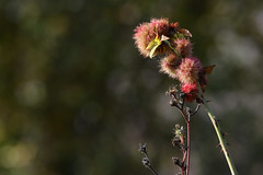 Saveurs d'Octobre, au parc de la haute île (olivier.amiaud) Tags: nature automne feuille vert parc végétation ronce rouge jaune bokeh