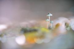 Tenderness . (look to see) Tags: bokeh tender tenderness tederheid pastel herfst paddestoel mushroom forest bos solwaster ardennen belgium 2018 kleur color microvisions