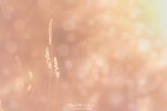 Soft as a caress (Mimadeo) Tags: bokeh plant flora macro vintage retro effect copyspace nature background summer light spring natural abstract fresh season leaf day blur growth color design bright sunny sun beauty shiny beautiful soft sunlight beam field growing closeup defocused blurred defocus blurry circle shine round wheat spot spots pollen
