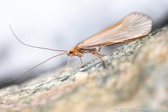 Caddisfly (Tom's Macro and Nature Photographs) Tags: macrophotography insects caddis caddisfly trichoptera montana beartoothmountains eastrosebud autumn fall snow