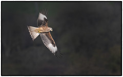 Red Kite (CliveDodd) Tags: red kite brecon beacons