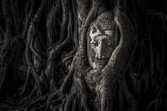Head of Buddha in a big tree  in Ayutthaya , Thailand (onion407) Tags: thai thailand ancient art asia asian attraction ayudhaya ayutthaya background blackandwhite branches buddha buddhism culture face faith head landmark old outdoor religion religious root sculpture spiritual statue temple travel tree worship