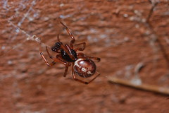 Steatoda bipunctata male (Arachtober 20) (Procrustes2007) Tags: spider steatoda arachnid arachtober steatodabipunctata male macro nikond50 sudbury suffolk uk