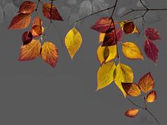 autumn leaves (marianna_armata) Tags: autumn fall leavesbranch macro layers psd mariannaarmata p2850861 hss
