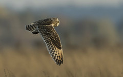 Short-eared Owl (Ann and Chris) Tags: shortearedowl owl jordugle beautiful raptor wildlife wild nature bird canon7dmarkii