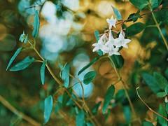 Golden feeling (withnaomi) Tags: nature naturefocus naturebokeh bokeh bokehbliss bokehnature flowers flower leaf getolympus olympus olympuspen penepl7 epl7 mzuiko45 mzuiko45mm bokehlove