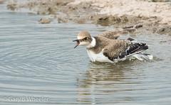Little Ringed Plover (Ponty Birder) Tags: g b wheeler garywheeler pontybirder birds waders england
