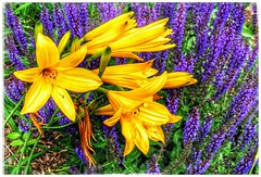 Yellow ON Purple (plismo) Tags: plismo flower garden macro bright town peterborough ontario lily lilies lilium floweringplant plant yellowlily yellow purple