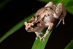 RAD_7628 (RhysSharryArchive) Tags: amphibia anura australia chordata cophixalus cophixalusornatus kuranda microhylidae ornatenurseryfrog queensland rhyssharry amphibian frog