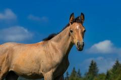 Freedom (FocusPocus Photography) Tags: foal araber arabian fohlen tier animal himmel sky rasse breed pferd horse arab marbach hauptundlandgestüt