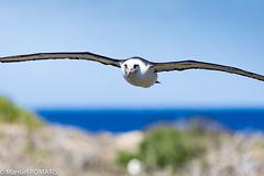 Laysan Albatross, Kaena Point, Oahu, Hawaii, US (Manuel ROMARIS) Tags: usa oahu kaenapointstatepark hawaii laysanalbatross waialua unitedstates us