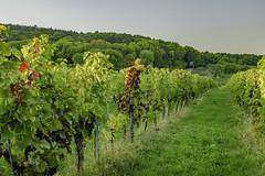 in the vineyard (a7m2) Tags: weingarten weinlese trauben perchtoldsdorf mödling loweraustria wandern natur obst spazieren travel