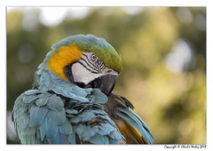 Preening (wesjr50) Tags: parrot sony dscrx10m4 24600mm f2440 macaw photoshop cc topaz nik flash photography alligator farm captive