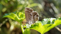 Le petit brun !!! (passionpapillon) Tags: macro insecte papillon butterfly lebrundespélargoniums passionpapillon 2018