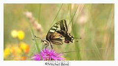 machaon (gimi.bene) Tags: papillon insecte macro macroinsectes profondeurdechamp proxy grosplan b canoneos sigma105mm depthoffield extérieur lumière marais maraisdegoulaine