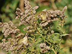 Tennessee Warblers, Mackworth Island (Bill Bunn) Tags: tennesseewarblers falmouth maine