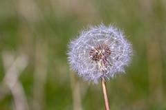 Make a wish (stellagrimsdale) Tags: taraxacum dandelion seedhead