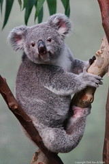 "Awake    Koala    ""Phascolarctos cinereus "" (DirkVandeVelde back , and catching up) Tags: europ europa europe belgie belgium belgica belgique buiten biologie antwerpen anvers antwerp animalia animal mechelen malinas malines muizen mammalia planckendael zoo zoogdieren sony koala chordata phascolarctoscinereus metatheria fauna theriiformes"