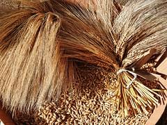 Cereals is life. Getreide ist Leben. (W@llus2010) Tags: getreide korn gerste ernte brot landwirtschaft bauer