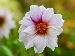 There is still time (docwiththecamera) Tags: botanical autumn bloom flower colors closeup nature beauty bokeh garden