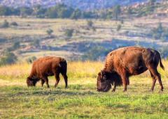 2018 - Vacation - Wichita Mountains Wildlife Refuge 2 (zendt66) Tags: zendt66 zendt nikon d7200 wichita mountains wildlife refuge lawton oklahoma bison photomatix hdr nikkor 200500mm buffalo