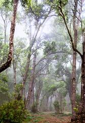 Fog / Niebla (López Pablo) Tags: fog tree leaf green brown white elhierro canary islands nikon d7200 spain nature