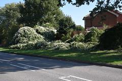 DSC_1889 (PeaTJay) Tags: nikond750 reading lowerearley berkshire gardens outdoors nature flora fauna plants flowers trees shrubs bushes foliage