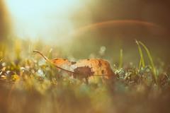 When I lose my breath (Sarah Rausch) Tags: lookingcloseonfriday orange bokeh leaf fall autumn orangeleaf backlight flare 90mm macro