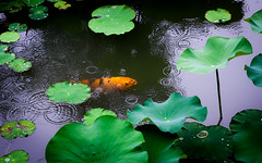 rain in Suzhou (marinachi) Tags: rain pond fish lotus leaves green orange sundaylights