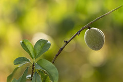 Pêche de vigne (melusine42) Tags: fruit jardin profondeur de champ peche flou bokeh garden nature
