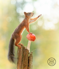 red squirrel is reaching with a toadstool (Geert Weggen) Tags: animal autumn bright bud cheerful closeup cute flower foodanddrink horizontal humor land lightnaturalphenomenon mammal moss mushroom nature perennial photography plant red rodent springtime squirrel summer sweden tasting toadstool fun fight fall couple attack young waving reach goodbye hello bispgården jämtland geert weggen ragunda hardeko
